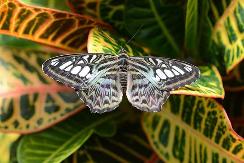 Blue Clipper Butterfly