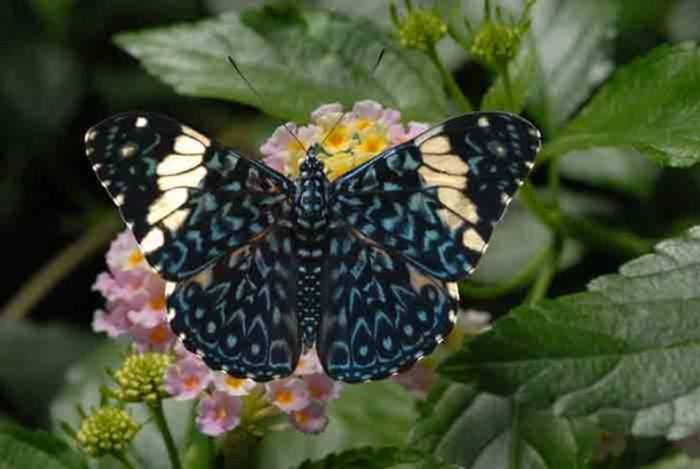 Blue Cracker Butterfly