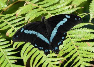 Blue Stripe Swallowtail Butterfly