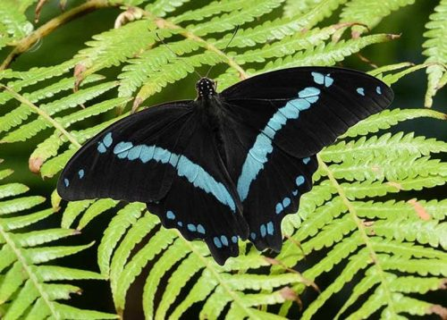 Blue Stripe Swallowtail Butterfly
