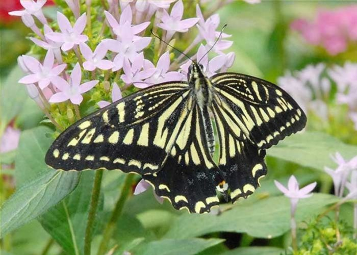 Chinese Yellow Swallowtail Butterfly