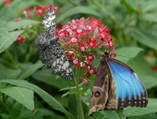 Cracker Butterfly & Common Blue Morpho Butterfly