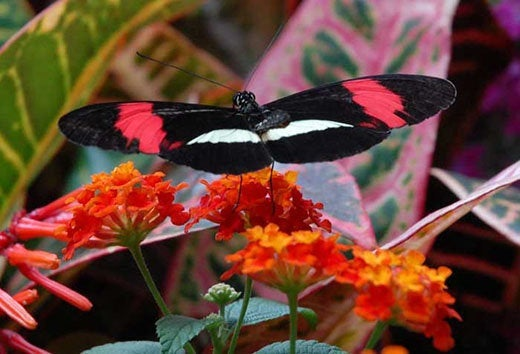 Crimson Patched Longwing Butterfly