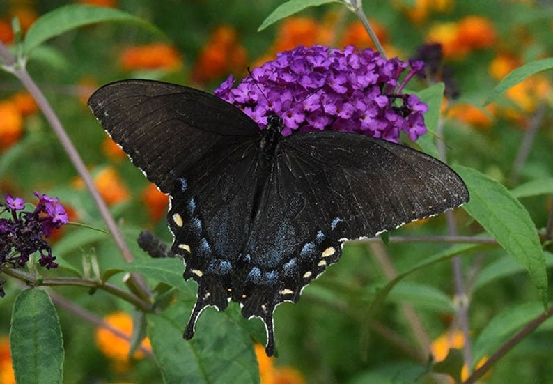 Female Eastern Tiger Swallowtail Butterfly
