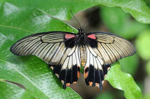 Female Great Yellow Mormon Butterfly