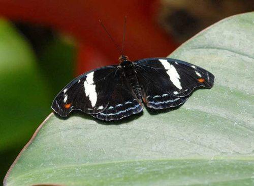 Female Grecian Shoemaker Butterfly