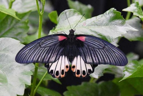 Female Mormon Butterfly