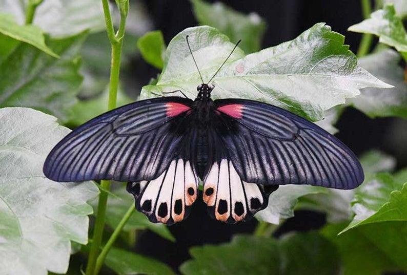 Female Mormon Butterfly
