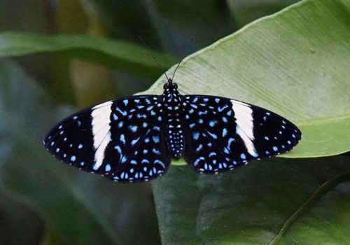 Female Starry Night Cracker Butterfly