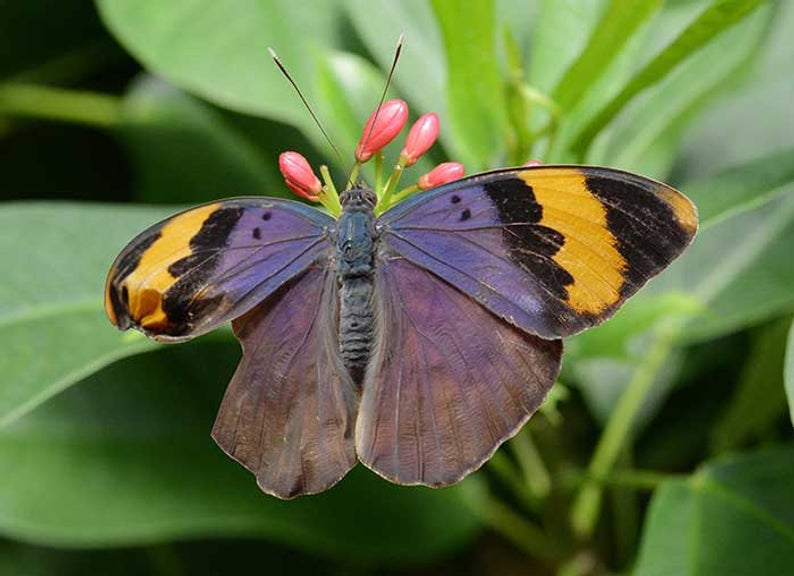 Gold-banded Forester Butterfly