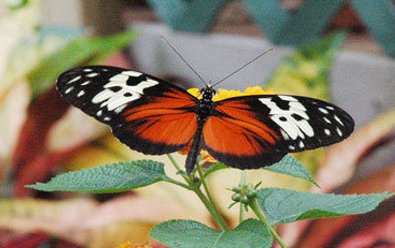 Golden Heliconius Butterfly