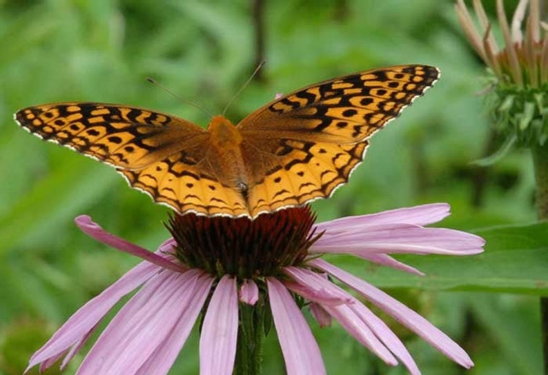 Great Spangled Fritilary Butterfly