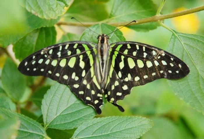 Green Triangle Butterfly