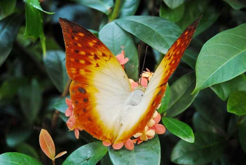 Green Vein Charaxes Butterfly