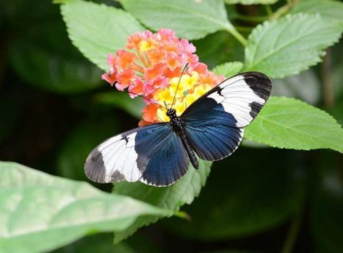 Heliconius Sapho Butterfly