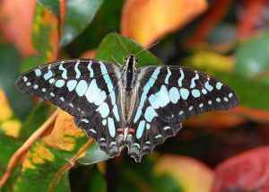 Large Stripe Swordtail