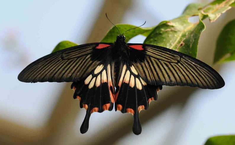 Male Great Yellow Mormon Butterfly