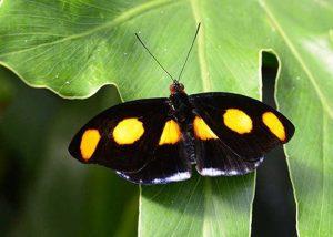 Male Grecian Shoe Maker Butterfly