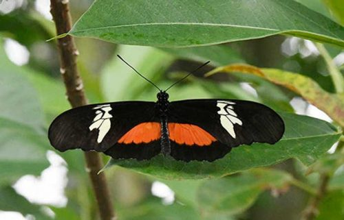 Mexican Longwing Butterfly