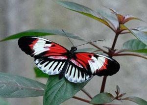 Piano Key 1 Butterfly