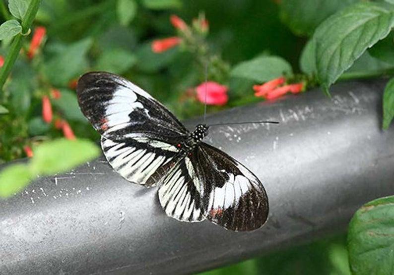 Piano Key 4 Butterfly