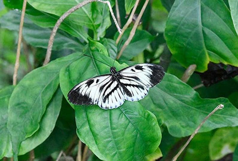 Piano Key Butterfly 6