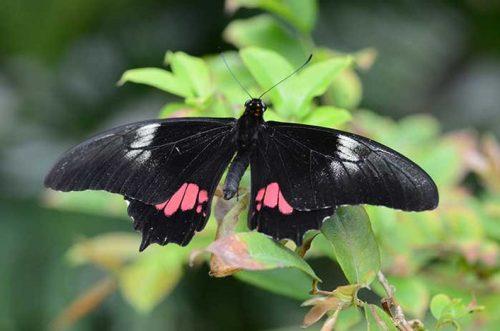 Pink Cattlehart Butterfly