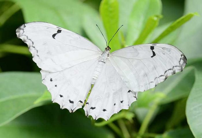 White Morpho Butterfly