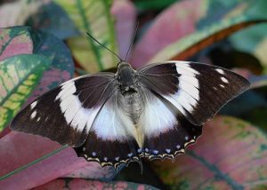 White Stripe Charaxes Butterfly