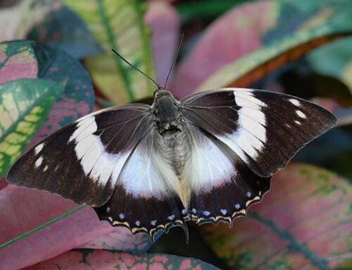 White Stripe Charaxes